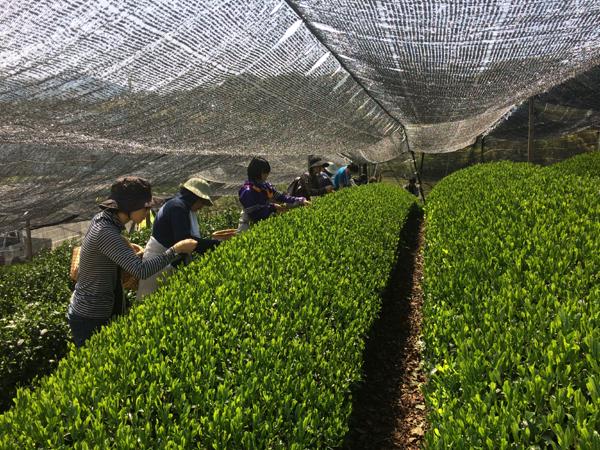 茶摘みボランティア